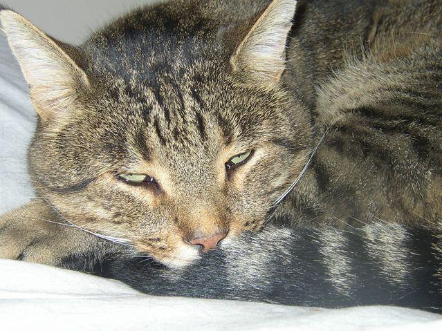 Tigron chat Européen de mamiekéké